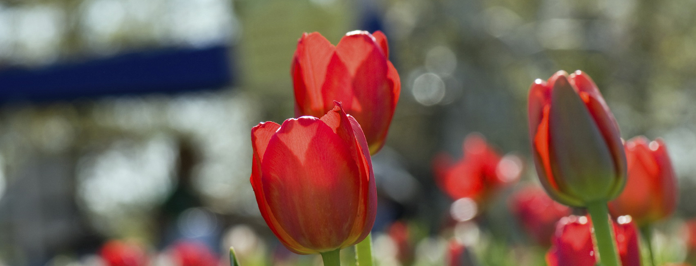 Tulips in Ottawa